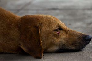 dog-laceration-surgery